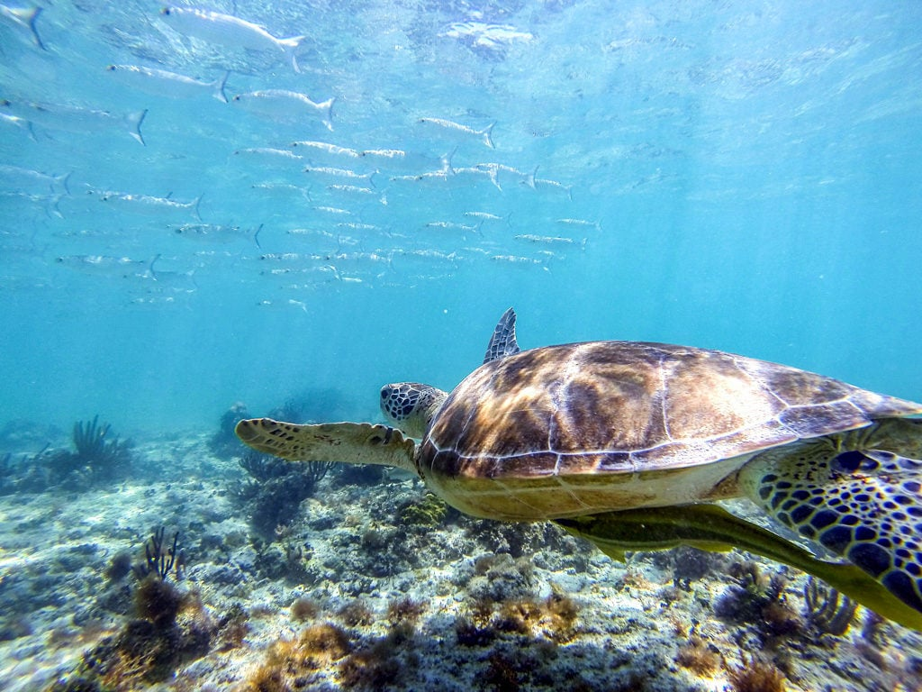 Tortuga nadando en Akumal
